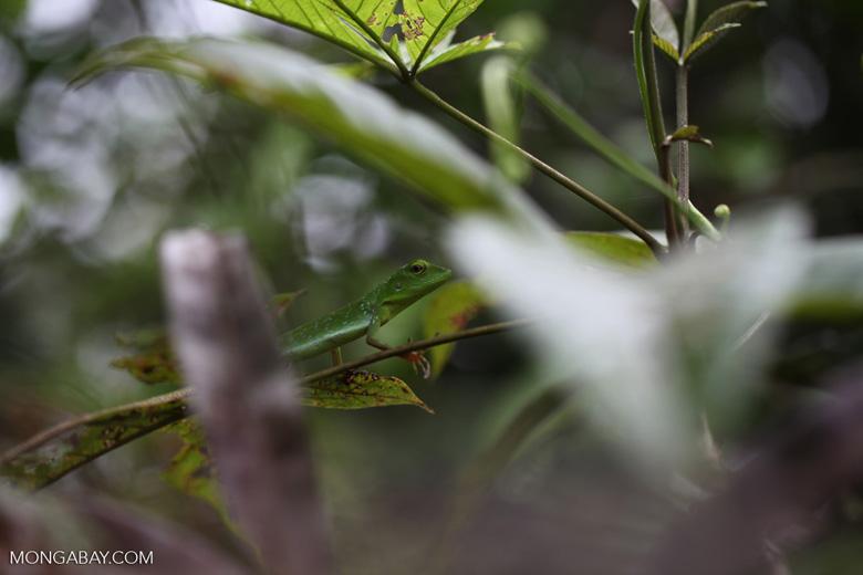 Green Crested Lizard (Bronchocela cristatella) [kalsel_0274]