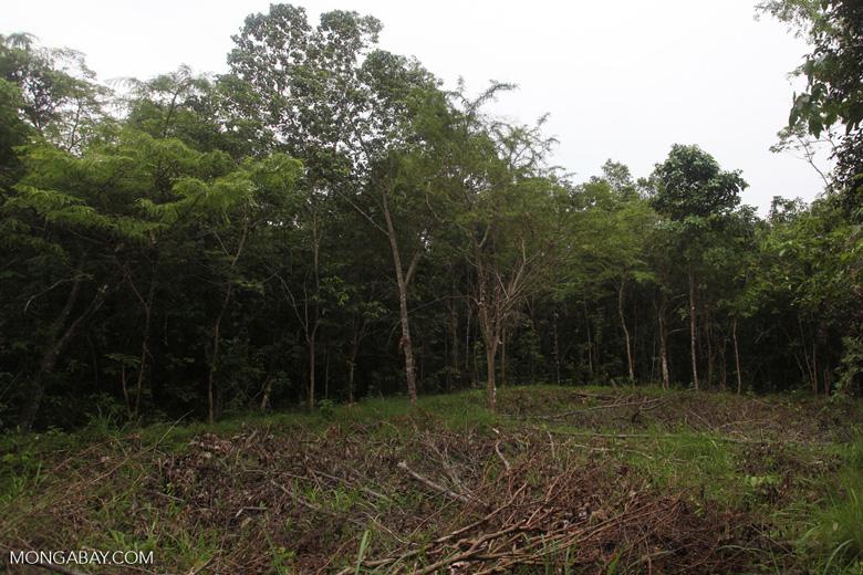 Forest clearing in Taman Hutan Raya [kalsel_0126]