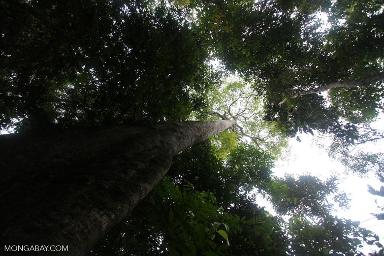 Giant rainforest tree in Taman Hutan Raya [kalsel_0152]