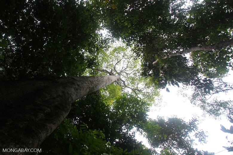 Giant rainforest tree in Taman Hutan Raya [kalsel_0153]