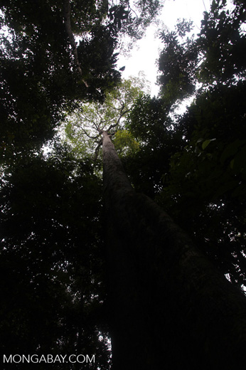 Giant rainforest tree in Taman Hutan Raya [kalsel_0157]