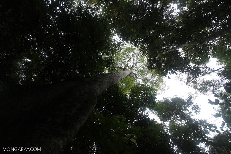 Giant rainforest tree in Taman Hutan Raya [kalsel_0151]