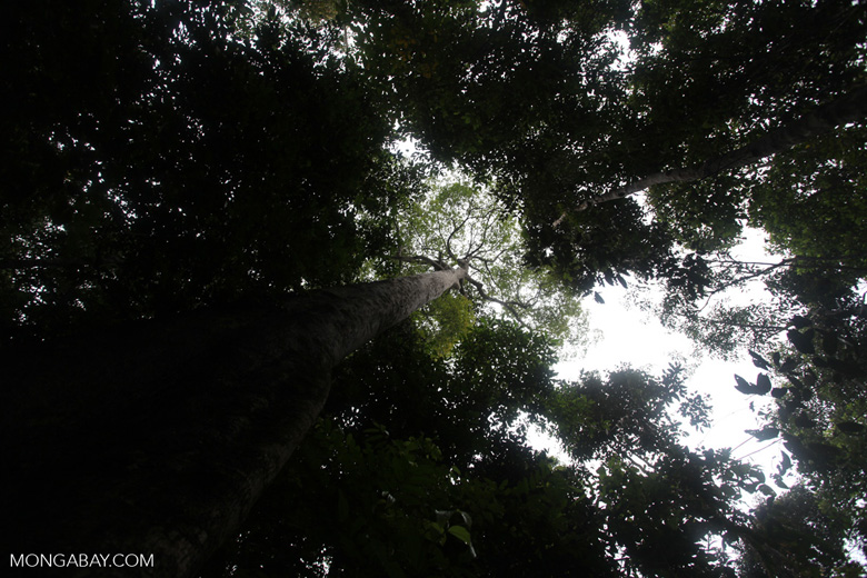 Giant rainforest tree in Taman Hutan Raya [kalsel_0158]