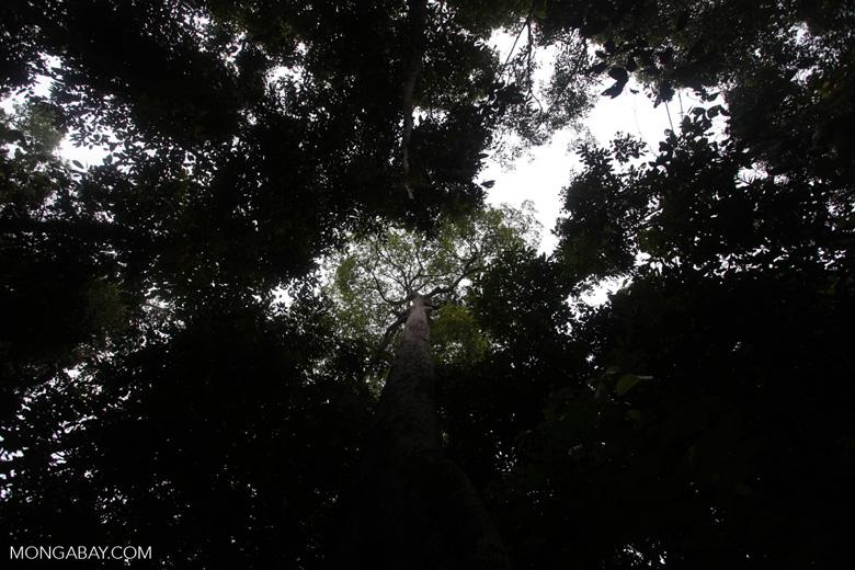 Giant rainforest tree in Taman Hutan Raya