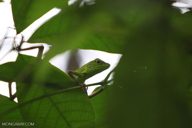 Green Crested Lizard (Bronchocela cristatella) [kalsel_0278]