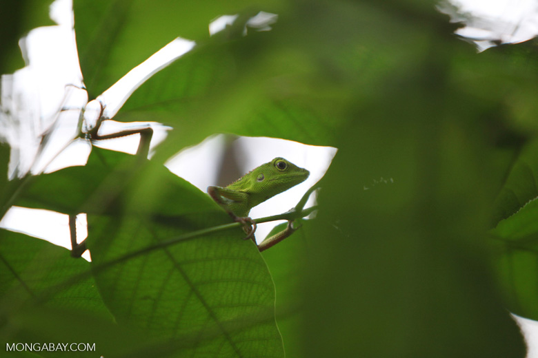 Green Crested Lizard (Bronchocela cristatella) [kalsel_0276]