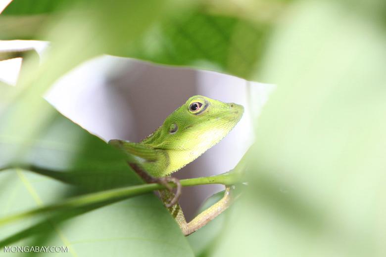 Green Crested Lizard (Bronchocela cristatella) [kalsel_0279]