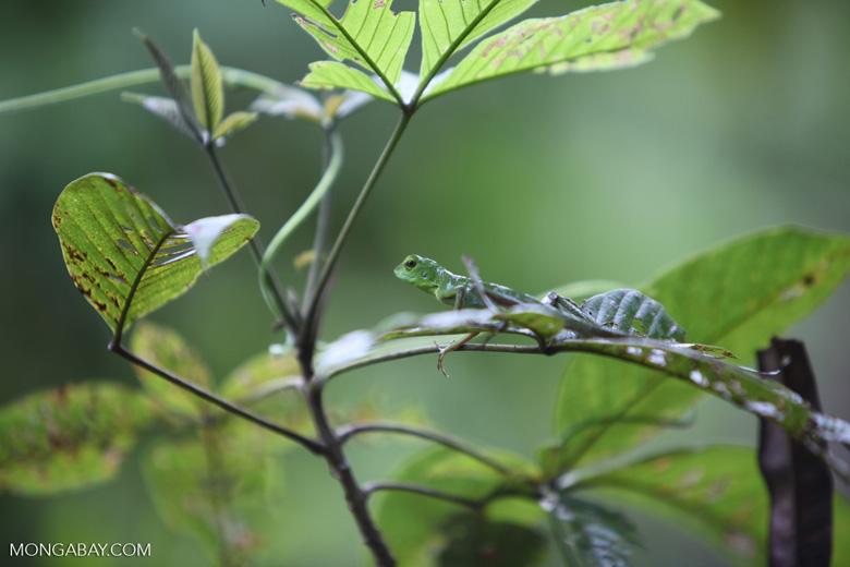 Green Crested Lizard (Bronchocela cristatella) [kalsel_0285]