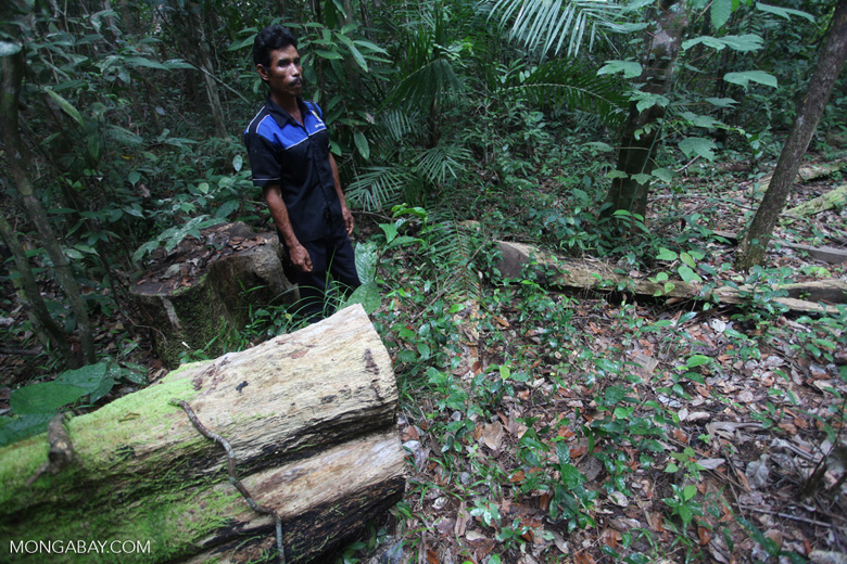 Forest ranger next to a tree illegally cut for timber