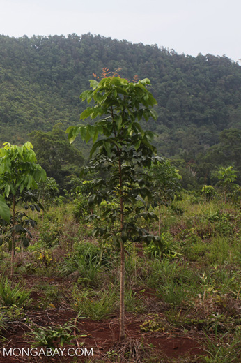 One Man One Tree reforestation project using Gmelia and Mahoni species