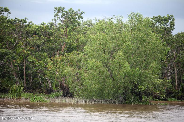 Mangroves near Banjarmasin [kalsel_0329]