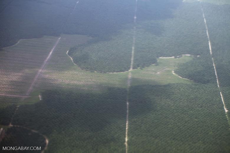 Oil palm in Central Kalimantan