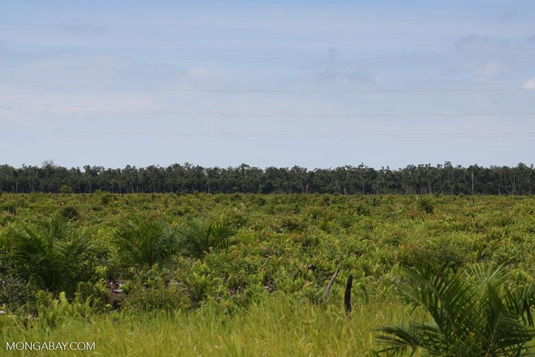 New oil palm plantation established on peatland outside Palangkaraya [kalteng_0048]