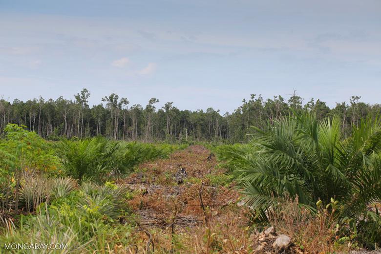 New oil palm plantation established on peatland outside Palangkaraya [kalteng_0049]