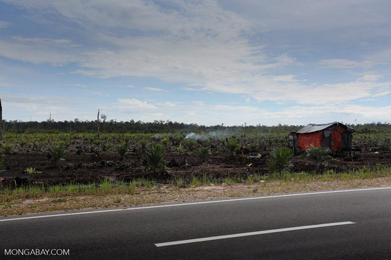 New oil palm plantation established on peatland outside Palangkaraya [kalteng_0052]