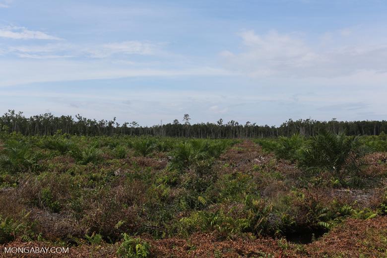 New oil palm plantation established on peatland outside Palangkaraya [kalteng_0056]