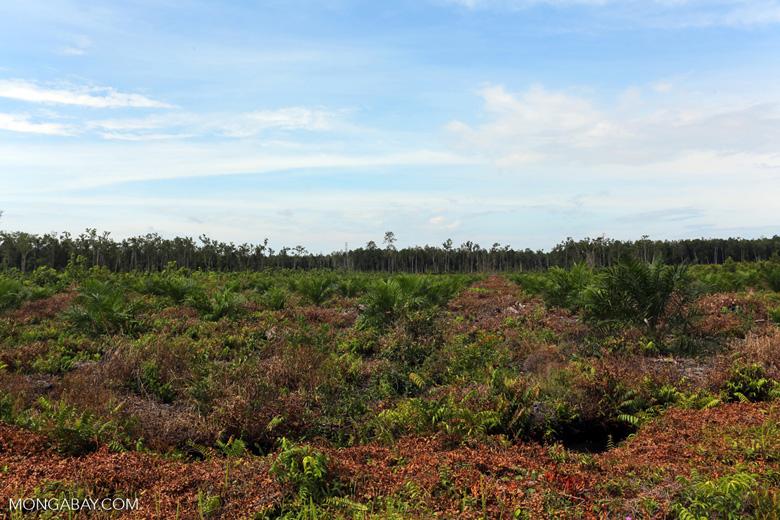 New oil palm plantation established on peatland outside Palangkaraya [kalteng_0059]