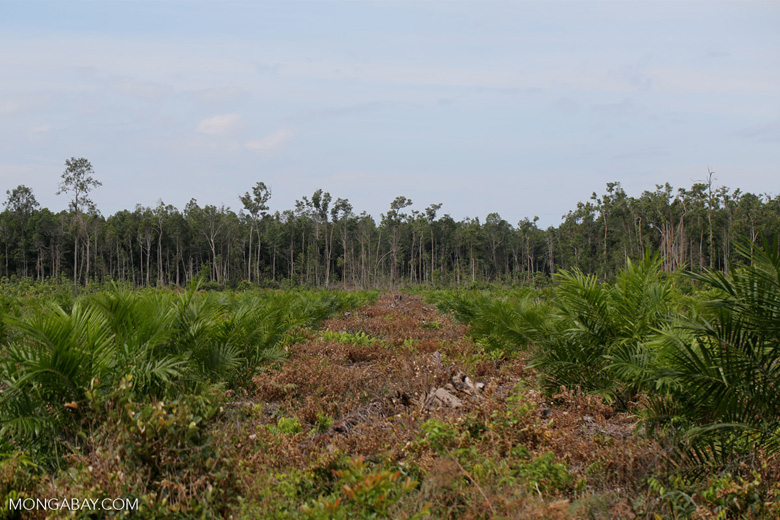 New oil palm plantation established on peatland outside Palangkaraya [kalteng_0066]