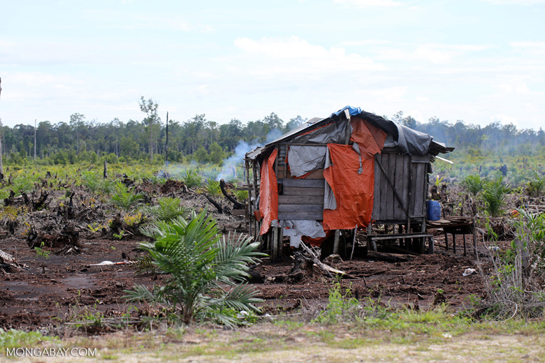 Hut amid a new oil palm plantation