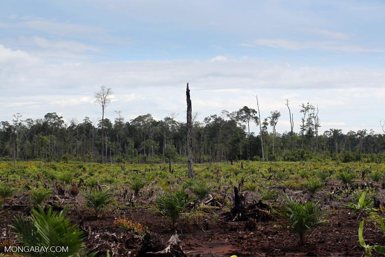 New oil palm plantation established on peatland outside Palangkaraya [kalteng_0072]