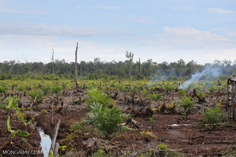 New oil palm plantation established on peatland outside Palangkaraya [kalteng_0079]