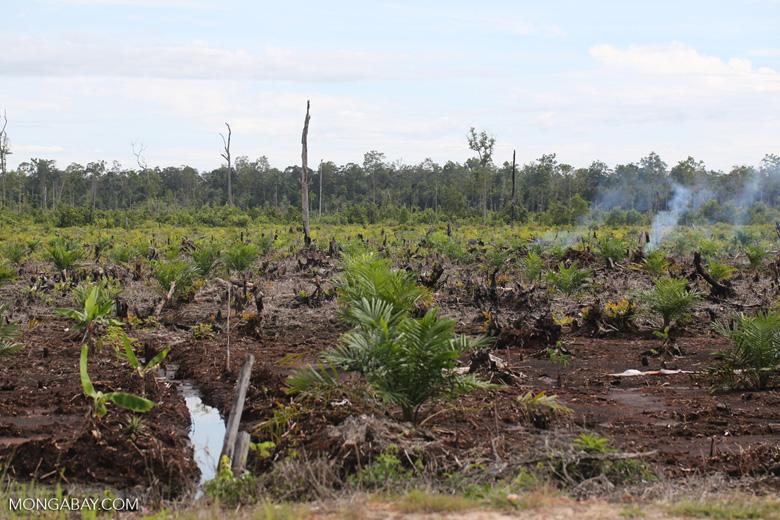 New oil palm plantation established on peatland outside Palangkaraya [kalteng_0080]