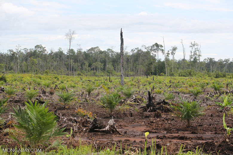 New oil palm plantation established on peatland outside Palangkaraya [kalteng_0081]