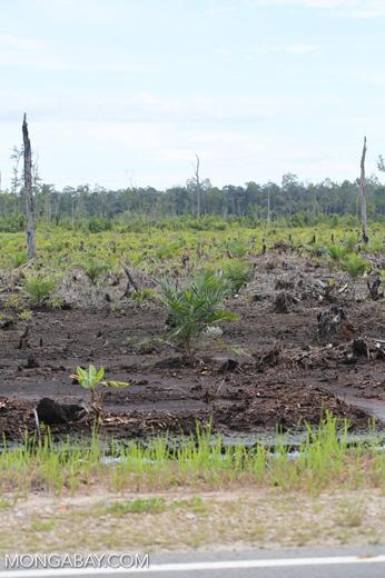 New oil palm plantation established on peatland outside Palangkaraya [kalteng_0084]