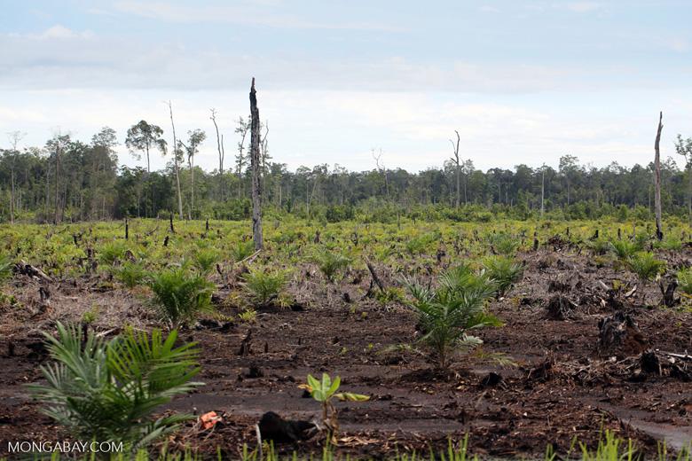 New oil palm plantation established on peatland outside Palangkaraya [kalteng_0085]