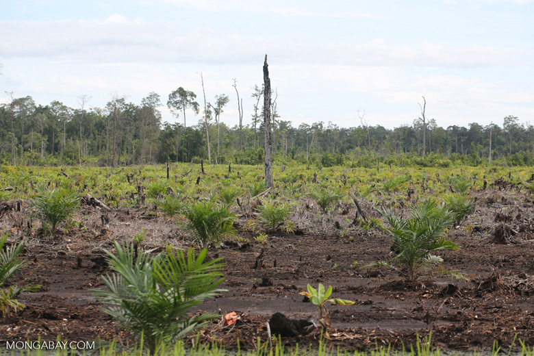New oil palm plantation established on peatland outside Palangkaraya [kalteng_0086]