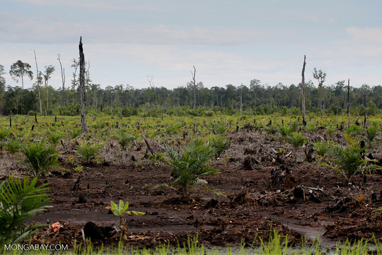 New oil palm plantation established on peatland outside Palangkaraya [kalteng_0088]