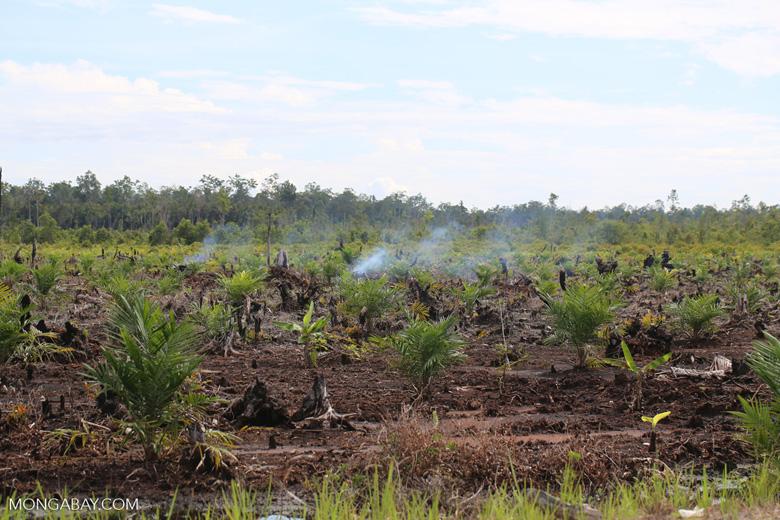New oil palm plantation established on peatland outside Palangkaraya [kalteng_0093]