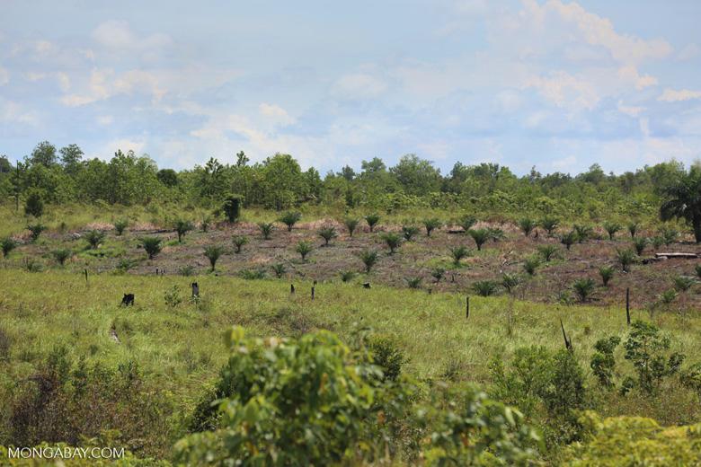 New oil palm plantation established on peatland outside Palangkaraya [kalteng_0097]
