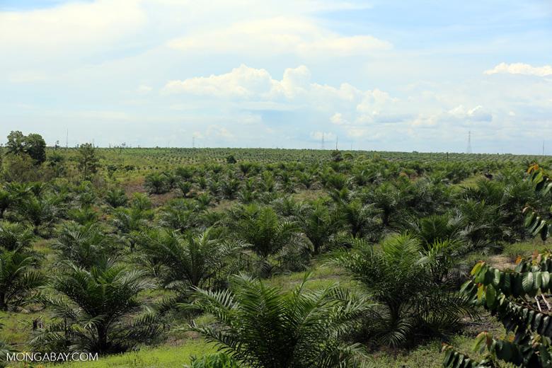 New oil palm plantation established on peatland outside Palangkaraya [kalteng_0100]
