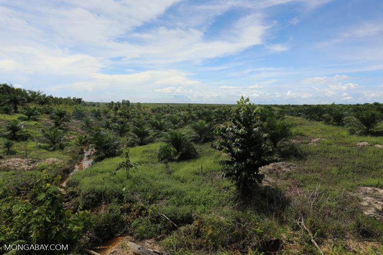 New oil palm plantation established on peatland outside Palangkaraya [kalteng_0101]
