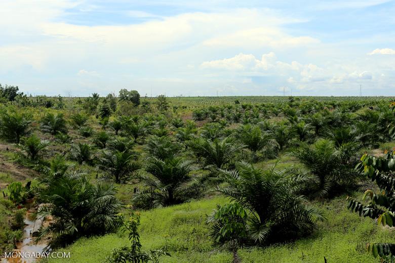 New oil palm plantation established on peatland outside Palangkaraya [kalteng_0102]