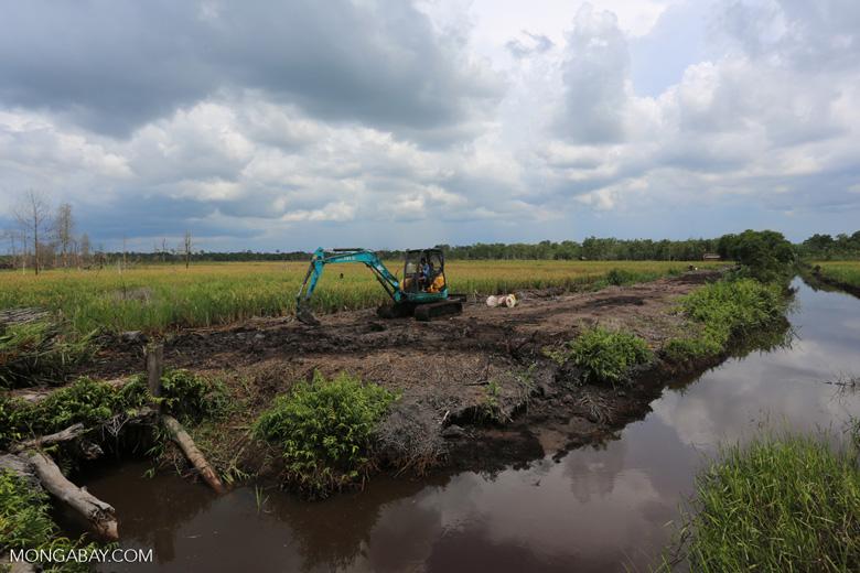 Rice on peat [kalteng_0110]