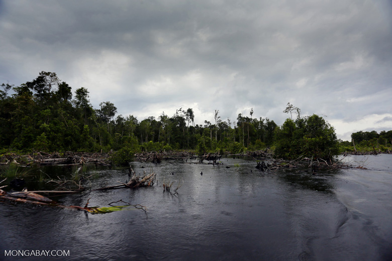 Burned forest in a peat swamp