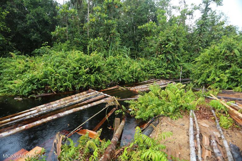 Illegal logging in Borneo [kalteng_0292]