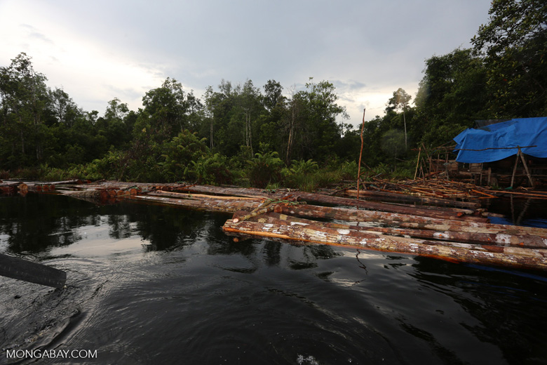 Illegal logs floating in a river, waiting for processing