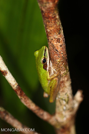 Hylarana raniceps frog in an Indonesian peat swamp