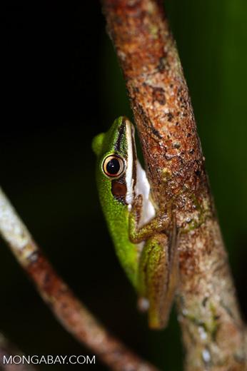 Hylarana raniceps frog