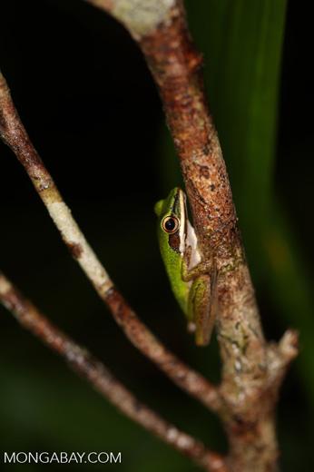 Hylarana raniceps frog [kalteng_0407]