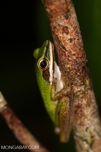 Hylarana raniceps frog in an Indonesian peatland