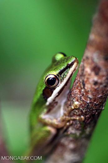 Hylarana raniceps frog in Kalteng