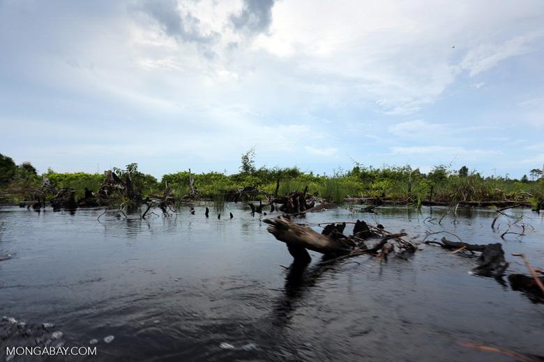 Degraded peatland in Borneo [kalteng_0533]