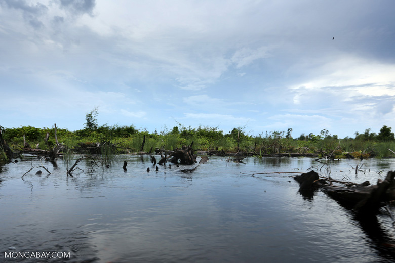 Degraded peatland in Borneo [kalteng_0534]