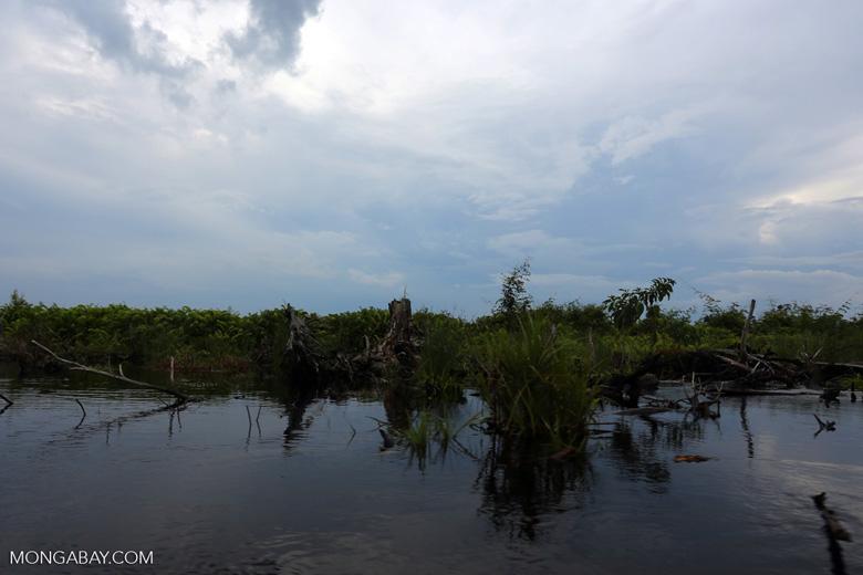 Degraded peatland in Borneo [kalteng_0535]