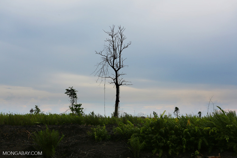 Cleared and burned peatland in Borneo