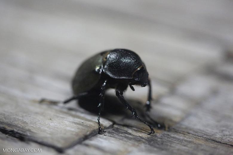 Beetle [kalteng_0578]